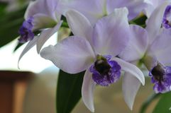 Close up of `Blue Lagoon` Orchid. Close up photograph of lavender with blue and white colored orchid `Blue Lagoon` Orchid growing in San Diego California royalty free stock photos