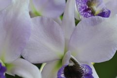 Close up of `Blue Lagoon` Orchid. Close up photograph of lavender with blue and white colored orchid `Blue Lagoon` Orchid growing in San Diego California stock photos