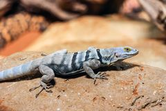 Close up of a blue lizard on rock Stock Image