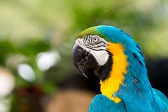 Close up of blue macaw grabbing on timer. Blue and gold parrot with copy space Royalty Free Stock Image
