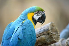 Close up of Blue Macaw Stock Photo
