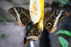 Close-up blue morpho butterflies Stock Photography