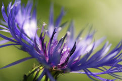 Close up of blue mountain cornflower Royalty Free Stock Photography