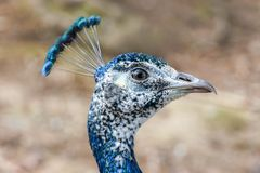 Close up of a blue peacock Stock Photo