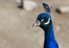 Close up Blue Peacock head Royalty Free Stock Photos