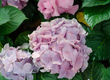 Close-up of blue pink Hydrangea in the garden in flower festival at Chiangmai,Thailand. The hydrangea has a wide range of meanings, from heartfelt emotion to stock images