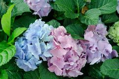 Close-up of blue pink Hydrangea in the garden in flower festival at Chiangmai,Thailand. The hydrangea has a wide range of meanings, from heartfelt emotion to stock image