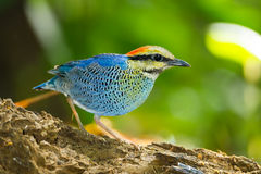 Close up of Blue pitta ( Hydrornis cyaneus ) Royalty Free Stock Images