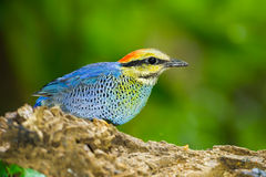 Close up of Blue pitta (Hydrornis cyaneus) Stock Image