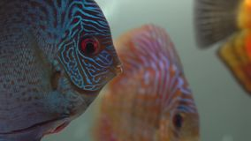 Close-up of blue-red pompadour fish swiming in a freshwater aquarium on blury bubbles and second fish background. side stock video footage