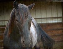 Horse Head with Stall Background. Close Up of a Blue Roan Quarter Horse Mare in a Stall Stock Image
