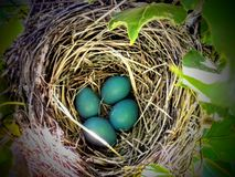Close-up of Blue Robin Eggs in a Nest in a Tree Stock Photo
