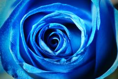 Close up of a blue rose Royalty Free Stock Photo
