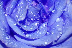 Close-up blue rose royalty free stock photos