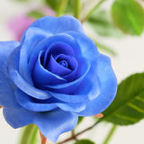 Close up of blue rose flower Royalty Free Stock Images