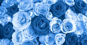 Free Close Up Blue Roses Background, Blooming Flower Concept Stock Photography - 176457122