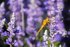 Close up of blue salvia with dragonfly in the garden. Blue salvia lit by sunlight stock images