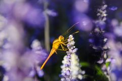 Close up of blue salvia with dragonfly lit by sunlight royalty free stock photo