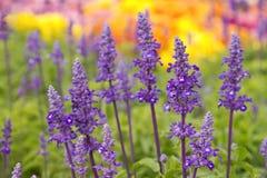 Close up of blue salvia flowers Stock Image