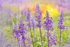 Close up of blue salvia flowers Stock Images