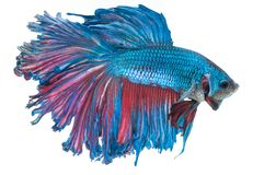 Beautiful betta splendens isolated on white background. Close-up of blue siamese fighting fish betta splendens isolated on white background royalty free stock photos