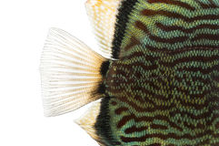 Close-up of a Blue snakeskin discus' caudal fin. Symphysodon aequifasciatus, isolated on white stock photos