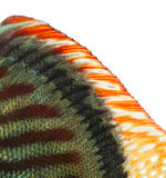 Close-up of a Blue snakeskin discus' dorsal fin Royalty Free Stock Image