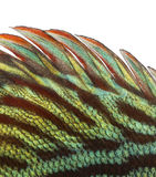 Close-up of a Blue snakeskin discus' dorsal fin Stock Images