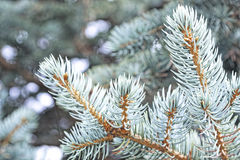 Close-up of a blue spruce branches. Blur effect. Tinted photo.  Stock Photo