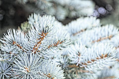 Close-up of a blue spruce branches. Blur effect. Tinted photo.  Royalty Free Stock Photo