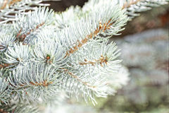 Close-up of a blue spruce branches. Blur effect. Tinted photo. Close-up of a blue spruce branches. Blur effect. Tinted photo Stock Images