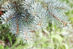 Close-up of a blue spruce branches. Blur effect. Tinted photo.  Royalty Free Stock Photography