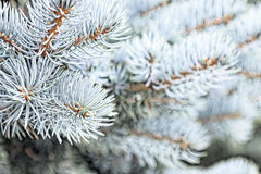Close-up of a blue spruce branches. Tinted photo.  Stock Images