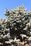 Close up of a blue spruce tree with blue sky stock photos