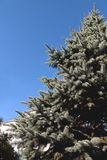 Close up of a blue spruce tree with blue sky. In summer say stock photography