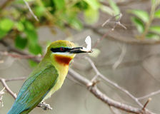 Close-up of blue tailed bee eater with prey Royalty Free Stock Images