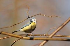 Blue tit - Parus caeruleus in the forest