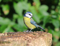 Close up of a Blue Tit Royalty Free Stock Image