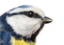 Close-up of a Blue Tit profile, Cyanistes caeruleus. Isolated on white Stock Photography