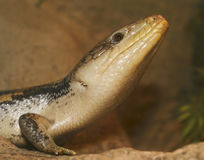 A Close Up of a Blue-tongued Skink Royalty Free Stock Image