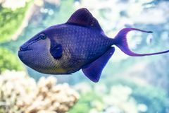 Close-up of a blue tropical fish swimming undersea. Side view close-up of a round blue tropical fish with purple tail swimming undersea Stock Photo