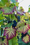 Close up of blue Vine of grapes and colorful autumn leaves under royalty free stock photography