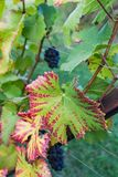 Close up of blue Vine of grapes and colorful autumn leaves under stock images