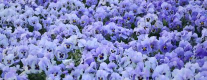 Close up blue and violet pansies in the garden. Seasonal natural Stock Image