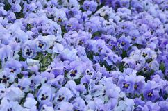 Close up blue and violet pansies in the garden. Seasonal natural Royalty Free Stock Image