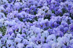 Close up blue and violet pansies in the garden. Seasonal natural Royalty Free Stock Photography