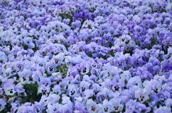 Close up blue and violet pansies in the garden. Seasonal natural Stock Photos