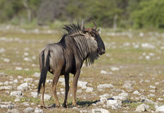 Close-up of Blue Wildebeest Stock Photos