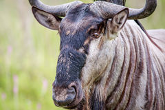 Close up of a Blue wildebeest. Stock Images