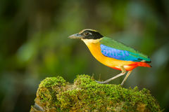 Close up Blue-winged Pitta Royalty Free Stock Images